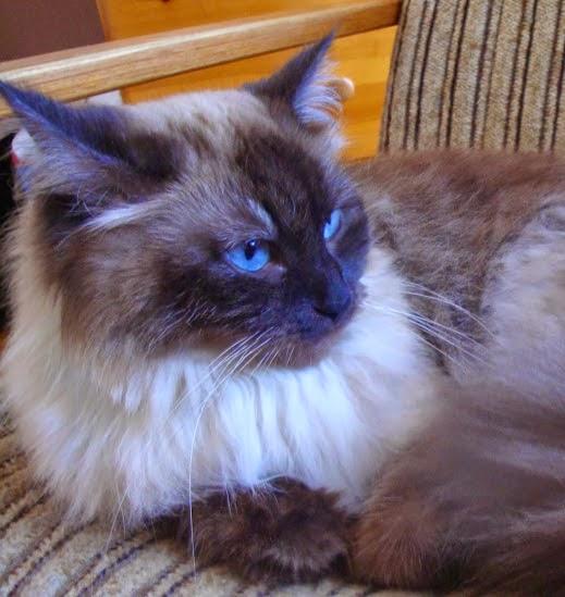 Sohopl Hodowla Kotów Syberyjskich I Neva Masquerade O Nas