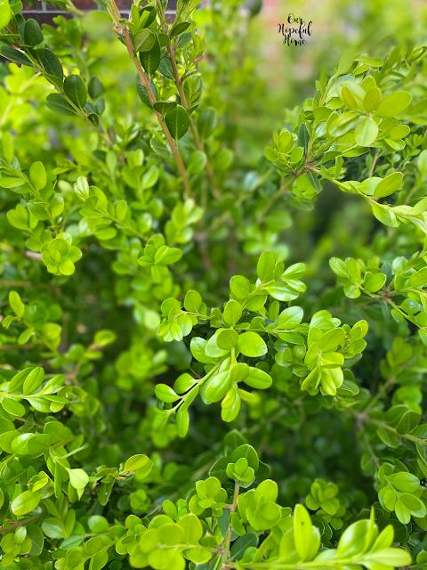 small green leaves stems boxwood bush