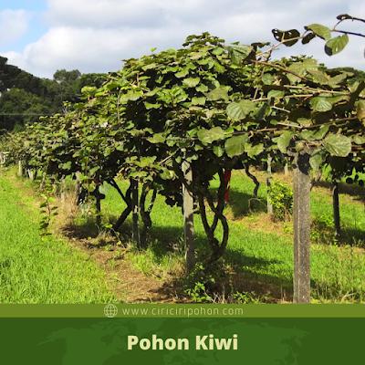 Ciri Ciri Pohon Kiwi