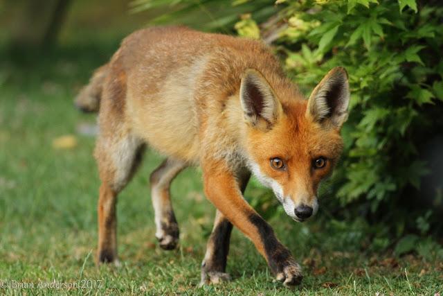 Fox encounter
