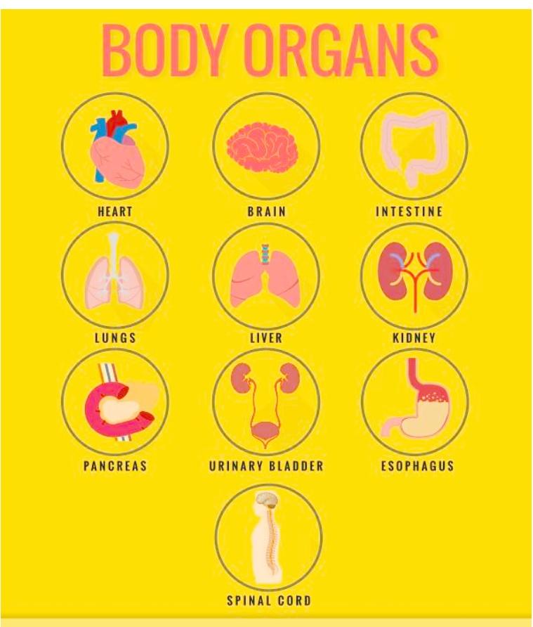 Parts Of Body Organs English Teacher