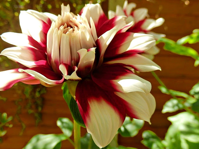 Large Dahlia open up