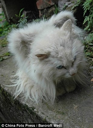 white winged cat