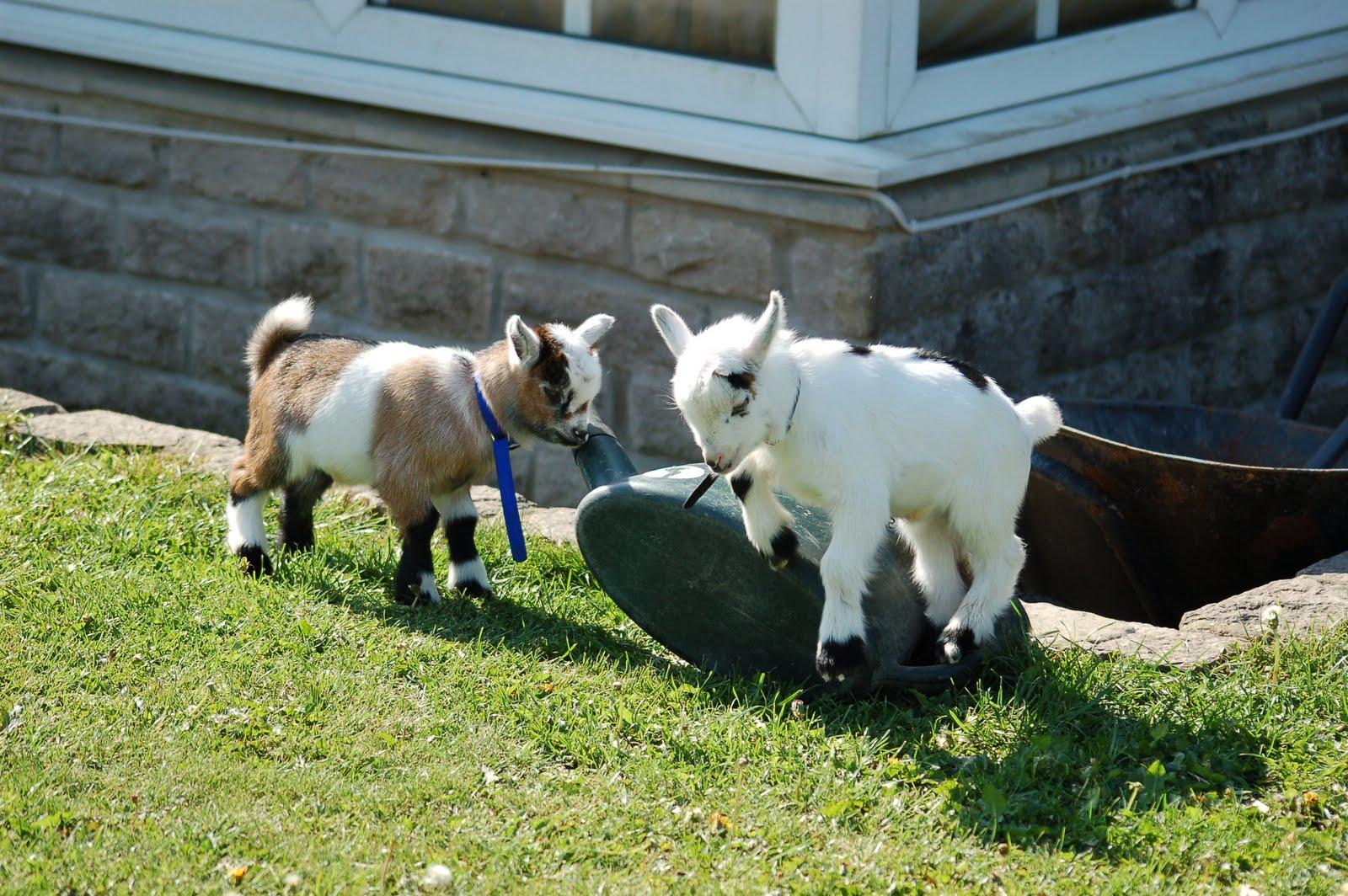 Maiden Castle Cottages - Pygmy Goats