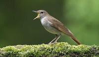 Burung Sikatan Londo Jantan