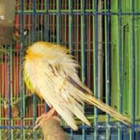 Penyakit Cacingan : Mengatasi Penyakit Cacingan Pada Burung Kenari - Solusi Penangkaran Burung Kenari