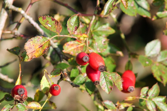 Rosehips Scohaboy County Tipperary