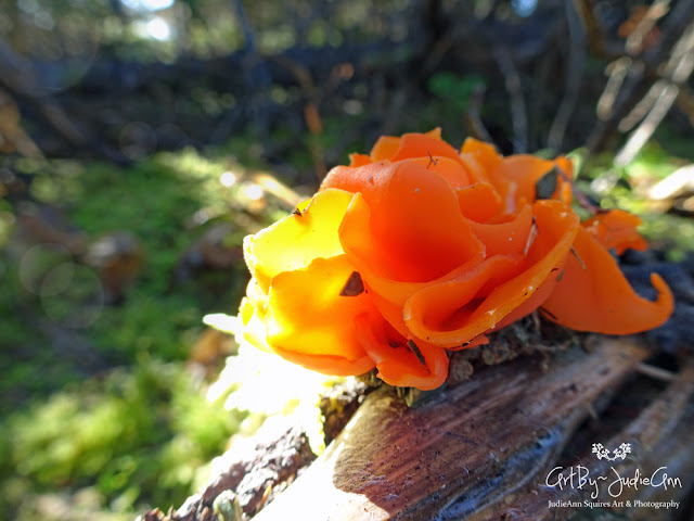 Orange Peel Cup Fungus Picture