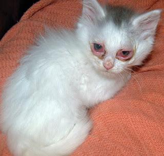 Mengatasi Iritasi Mata Anak Kucing