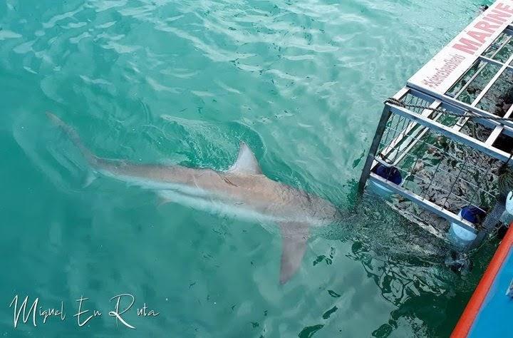 Tiburón-cobrizo-cerca-de-jaula