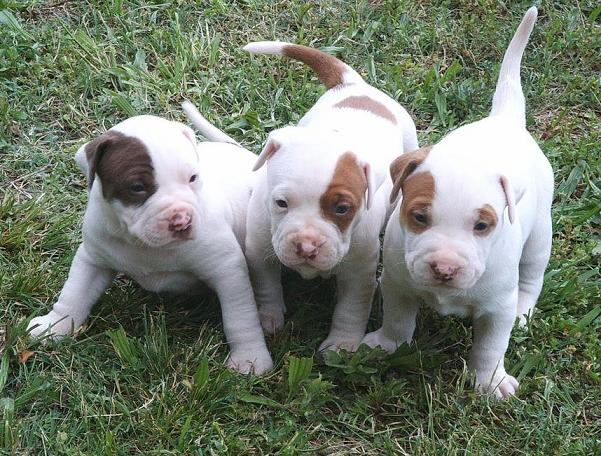 All About Animal Wildlife: American Pitbull Cute Puppies ...