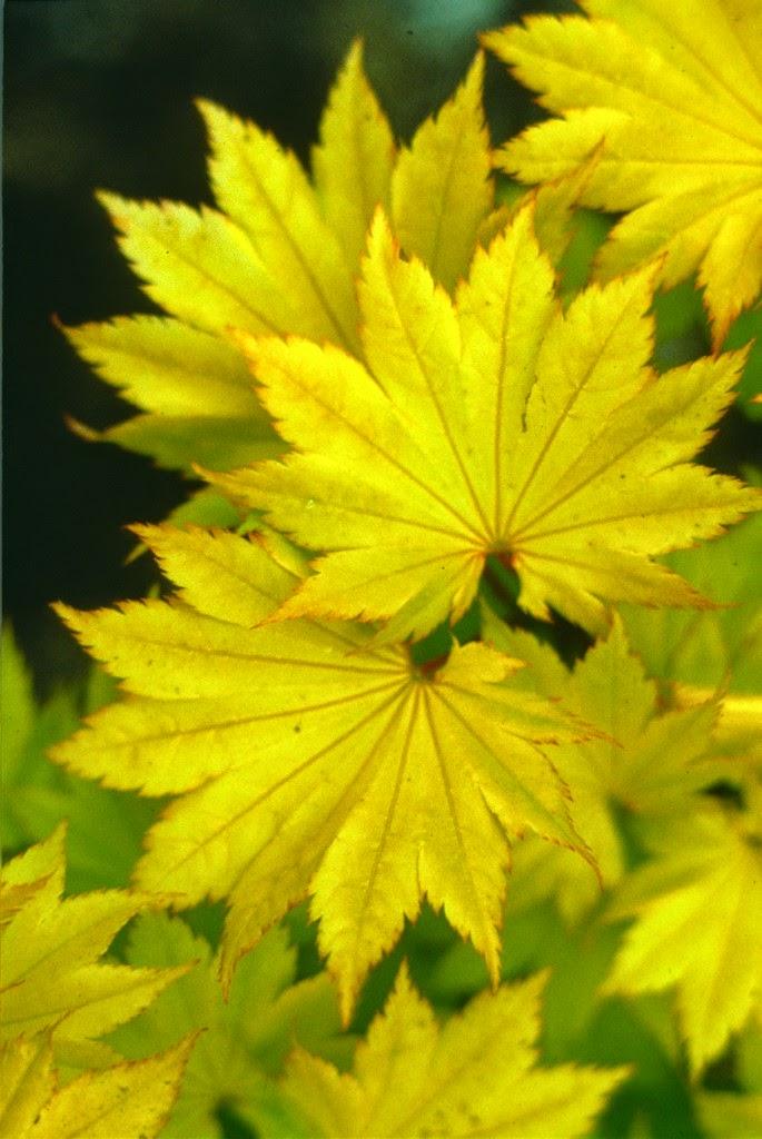 flora wonder blog open your vertrees gregory japanese maple book. Black Bedroom Furniture Sets. Home Design Ideas