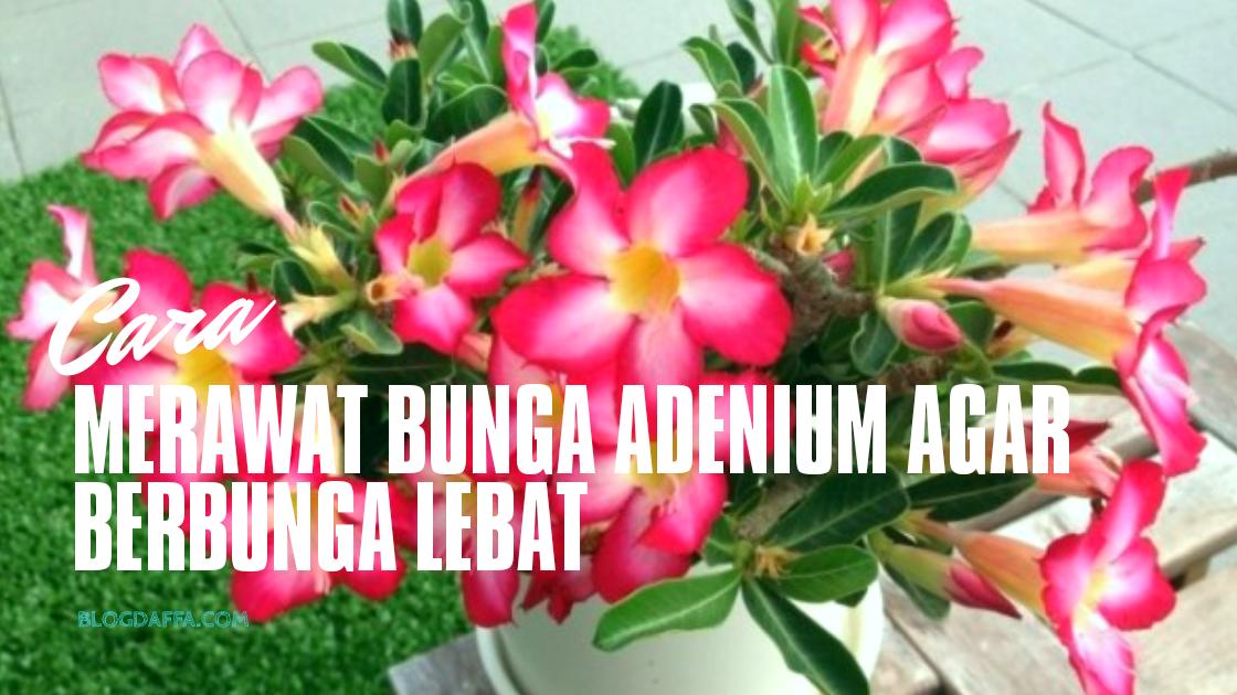 Cara Merawat Bunga Adenium Yang Baik Dan Benar