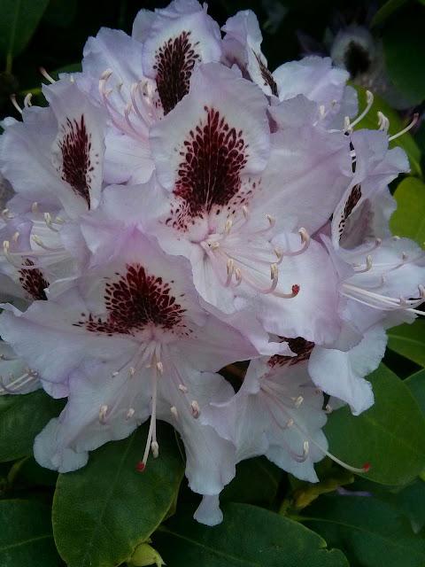 Rhododendron mit Palmengarten