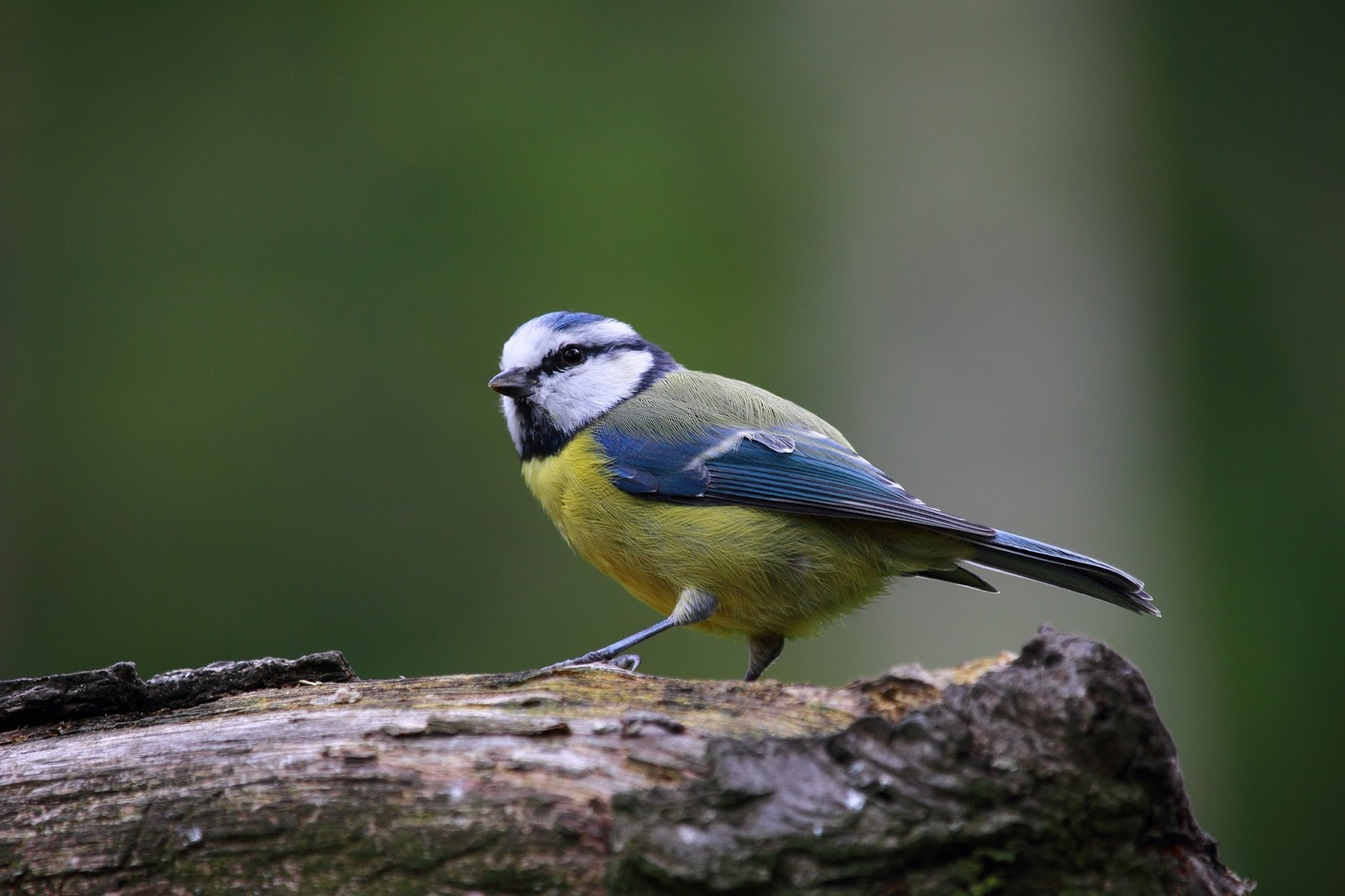 Picture of a blue titmouse bird.