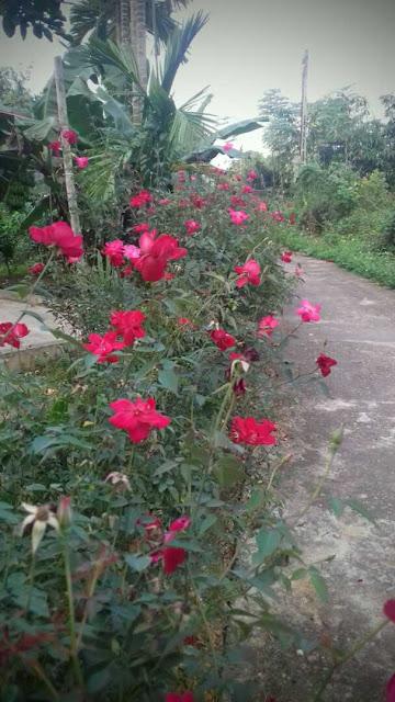 hoa hồng quế cánh đơn