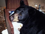 Black Bears do not harm let alone kill humans, unless provoked