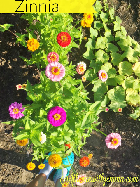 zinnias, grow, seeds, colorful, variety of colors, garden, oldfashion