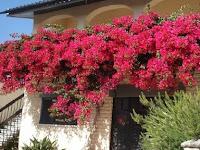 Berikut Ini Beberapa Cara Menanam Bunga Bougenville Untuk Pemula