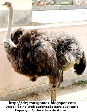Foto de Avestruz hembra gris del Parque de las Leyendas. Foto del avestruz de Jesus Gomez