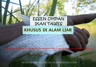 Essen Ikan Tawes Khusus Di Alam Liar