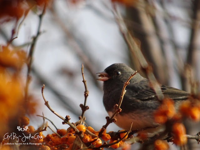 Junco in seabuckthorn Photography