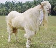 jenis dan ciri-ciri kambing yang cocok untuk dibudidayakan