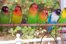 Cara Lengkap Ternak Burung Lovebird Yang Sangat Menguntungkan