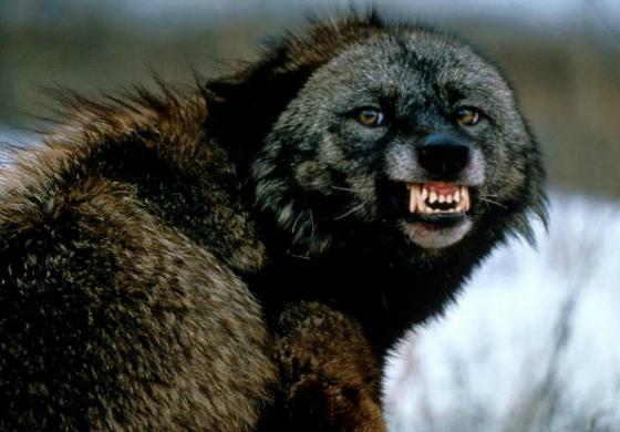 Weird: Upright Wolverine or a 3 Foot Tall Werewolf?