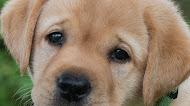 Golden Retriever - Cute dog mobile wallpaper