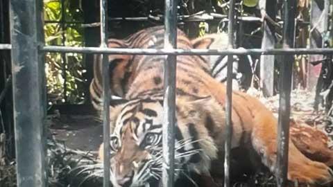 Harimau Sumatera di Kebun Sawit PT PMS Pasbar Masuk Perangkap BKSDA Sumbar