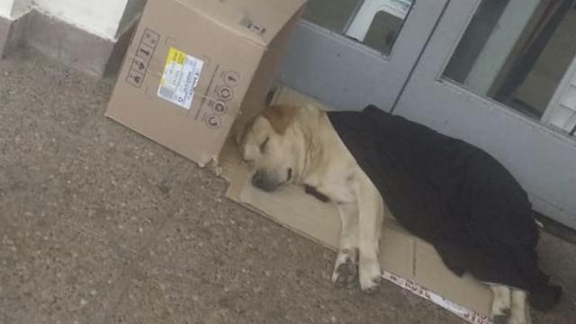 Преданный лабрадор неделю сидел у дверей больницы в ожидании хозяина!