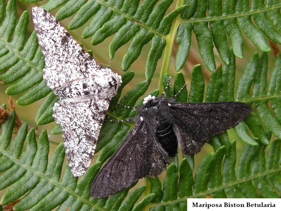 mariposa-biston-betularia-indagacao