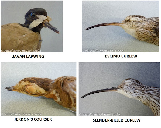 Top 10 of the world's rarest waders.