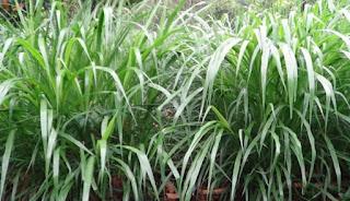 Rumput Taiwan