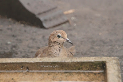 "This image features a young Mourning dove ""standing"" behind a cement bird bath that is on a blacktop surface (my garden floor). Only his head is visible because of where he is standing in relation to the bird bath. One of his dark eyes (with a light bare rings surrounding it) appears to be gazing intently at whatever he is seeing.    Mourning doves are featured in my three volume book series, ""Words In our Beak."" Info re these books is in another post on this blog which is @ https://www.thelastleafgardener.com/2018/10/one-sheet-book-series-info.html"