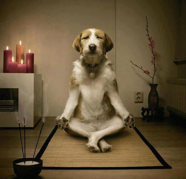 Chien calme, zen