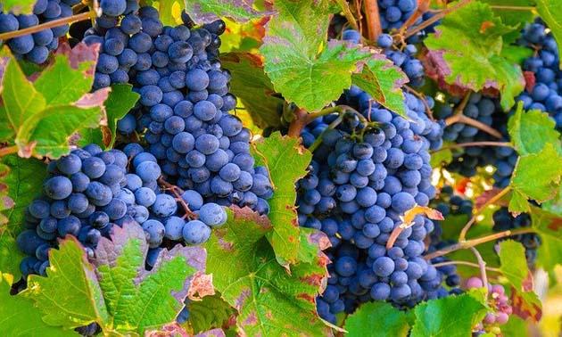 Uva (Vitis vinifera L.)