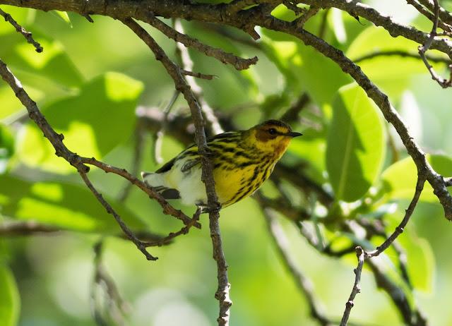 Cape May Warbler - Fort De Soto, Florida