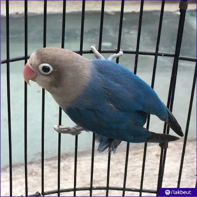 2 Ciri – ciri lovebird violet SF dan lovebird violet DF