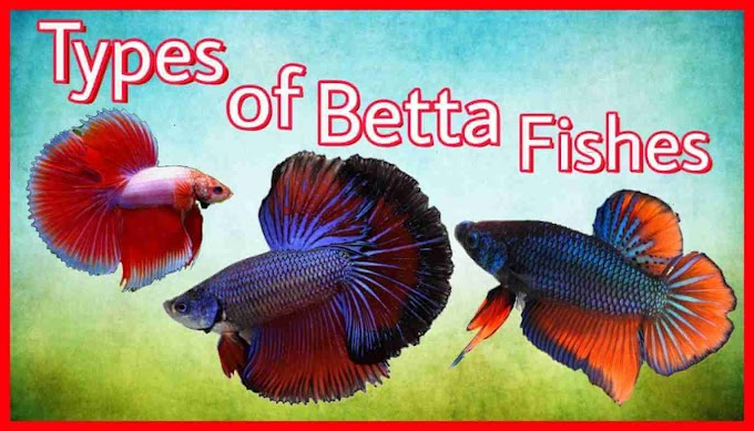 Differnet Types of Betta fishes