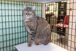 Adopción de gatos: guía para acoger a un gato adulto