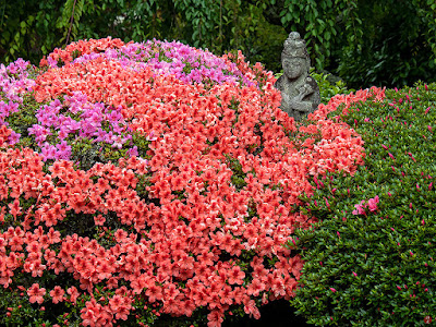 Satsuki (Rhododendron indicum) flowers: Kaizo-ji