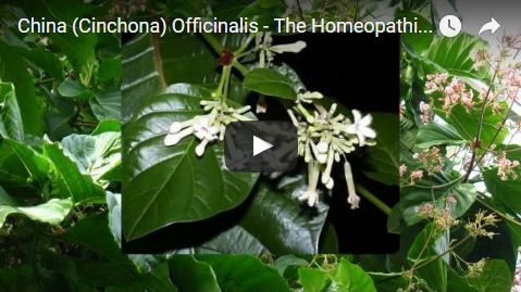 China (Cinchona) Officinalis - The Homeopathic Remedy
