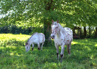 Two appaloosa spot horses grazing in a field underneath a tree