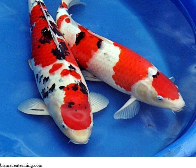 Cara Memilih Ikan Koi Berkualitas
