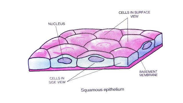 four types of animal tissues