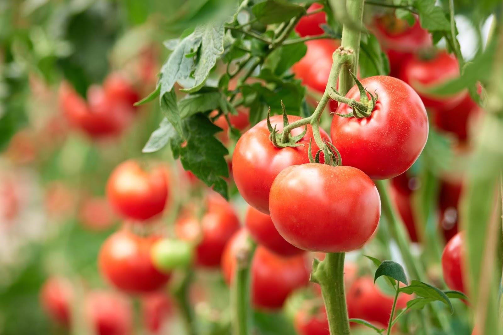 tomato vegetable gardening
