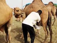 आखिर मुसलमान ऊंट का मूत्र क्यों पीते हैं? जबकि है बीमारी का खतरा