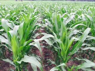 corn hybrid trial